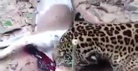 فيديو مروع.. مزارع ينتقم من نمر افترس كلبه - المواطن