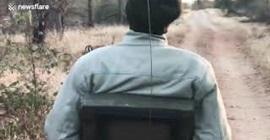 فيديو مذهل.. نمر يفض شجاراً عنيفاً بين غزالين - المواطن