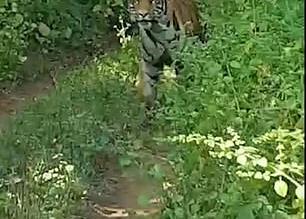 فيديو.. نمر يطارد سيارة سياح مفتوحة - المواطن