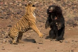 فيديو.. معركة عنيفة بين نمر ودب - المواطن