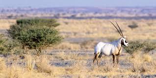 صورة القوات الخاصة للأمن البيئي: مقطع صيد الظبي قديم وخارج السعودية