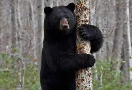عدوى تجعل الدببة السوداء الأمريكية تتصرف مثل الكلاب ! (3)